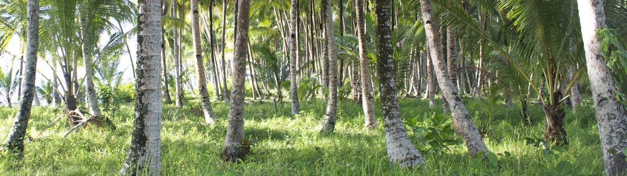 Coconut grove in Indonesia